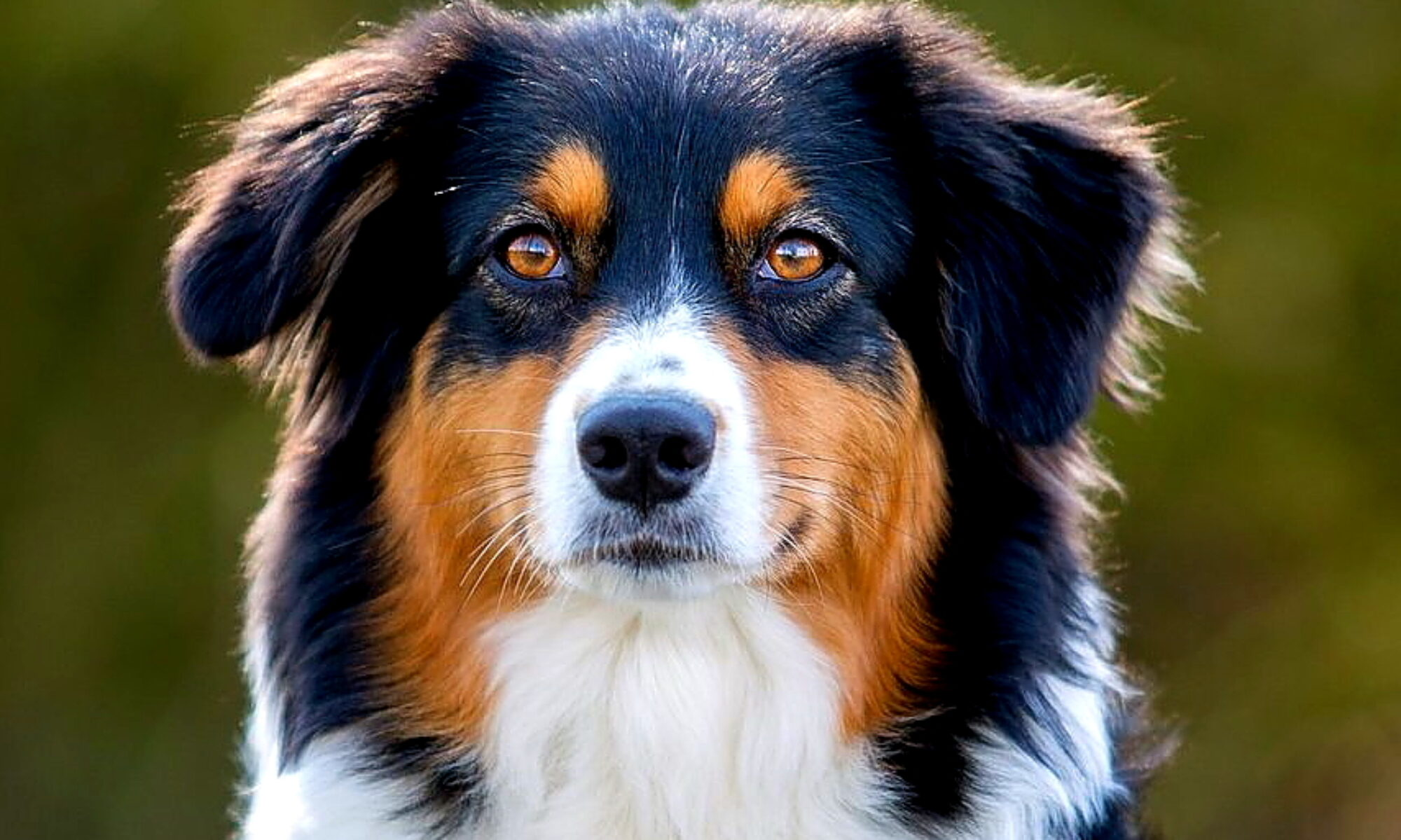 Skymoor Australian Shepherds